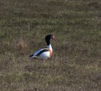 IMG_3851Male Shelduck